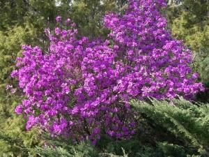 rododendron daurskiy